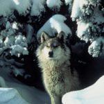 Neige à Paris : des loups aperçus au Bois de Vincennes