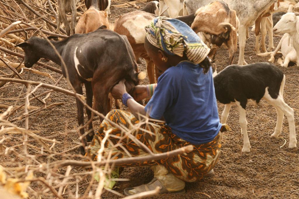 Chèvres du Sahel